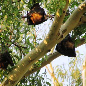 sleeping bats