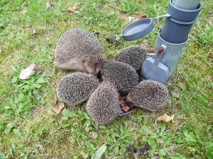 group of hedgehogs