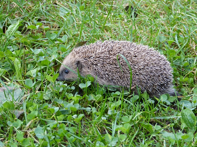 Hedgehog Facts For Kids | Cool Kid Facts